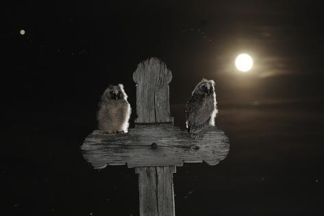 Long Eared Owl (Asio Otus) Chicks Perched on a Cross Fotografie-Druck