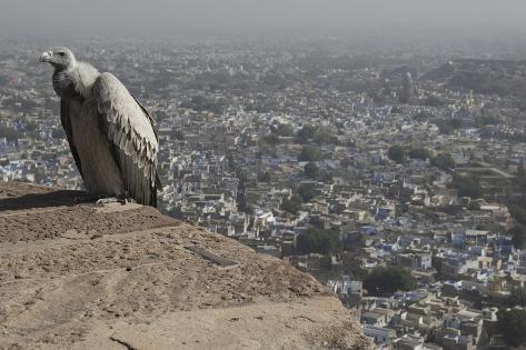 Long-Billed Vulture (Gyps Indicus) Fotografie-Druck