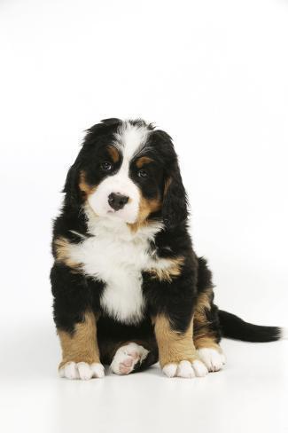 Bernese Mountain Puppy Sitting Fotografie-Druck