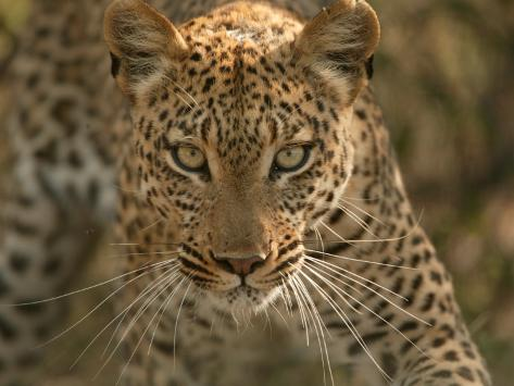 Portrait Of A Leopard Panthera Pardus Mombo Okavango Delta