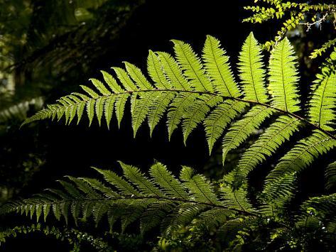 Ferns Growing Along the Kepler Trail, Fiordland National Park, New Zealand Fotografie-Druck