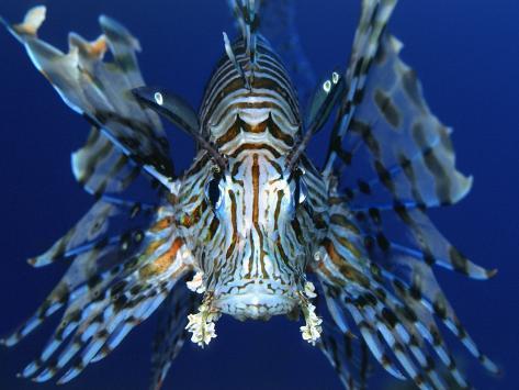 Red Lionfish Fotografie-Druck