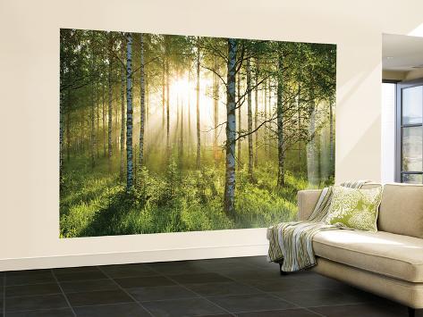 Birkenwald in der morgensonne fototapete wandgem lde bei - Birkenwald fototapete ...