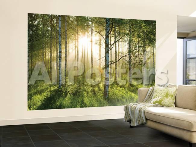 Fototapete birkenwald  Birkenwald in der Morgensonne Fototapete Wandgemälde bei AllPosters.de