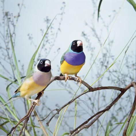 Black-Headed Gouldian Finch Pair Fotografie-Druck