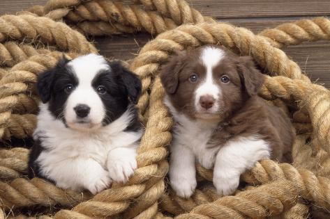 Border Collie Dog Puppies in Rope Fotografie-Druck
