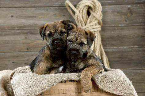 Border Terrier Puppies Sitting in a Box (13 Weeks Old) Fotografie-Druck