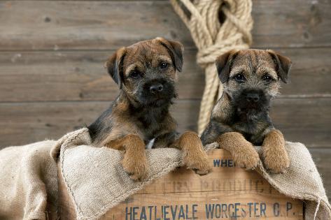 Border Terrier Puppies Sitting in a Box (13 Weeks Old) Fotografie-Druck