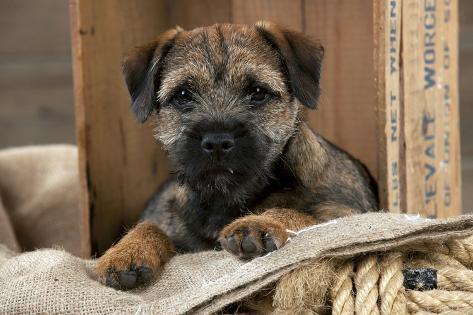 Border Terrier Puppy Sitting in a Box (13 Weeks Old) Fotografie-Druck