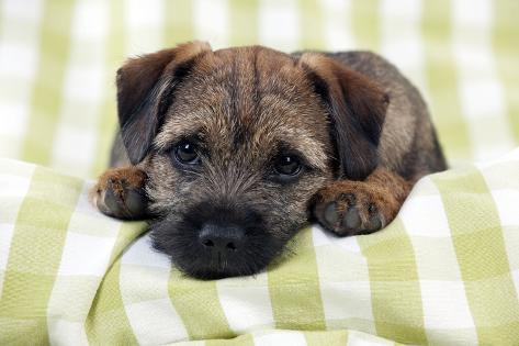 Border Terrier Puppy Sitting on a Blanket Fotografie-Druck