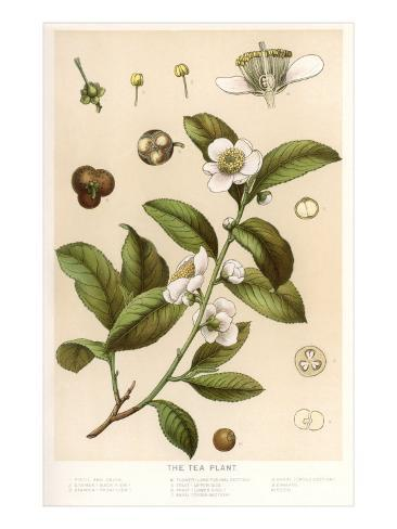 Botanical Image of Tea Plant Kunstdruck