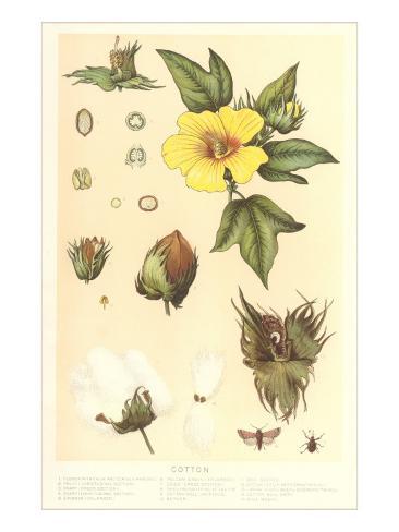 Botany of the Cotton Plant Kunstdruck
