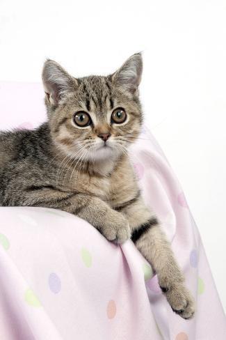 British Shorthair X Kitten Laying on Blanket Fotografie-Druck