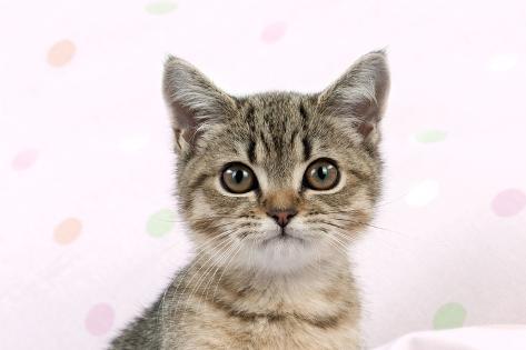 British Shorthaired Kitten (Head Shot) Fotografie-Druck