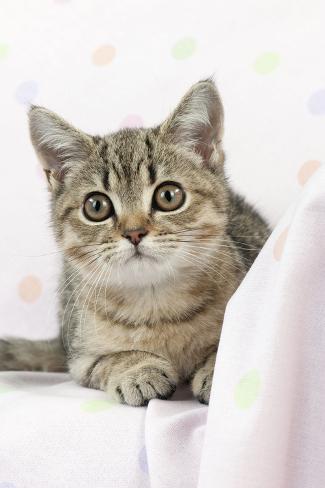 British Shorthaired Kitten Laying on Blanket Fotografie-Druck