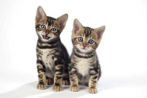 Brown Marble Blue-Eyed Bengal Kittens 6 Weeks Old Fotografie-Druck