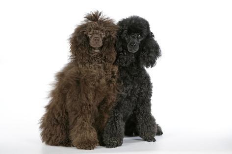 Brown Poodle and Black Poodle Fotografie-Druck