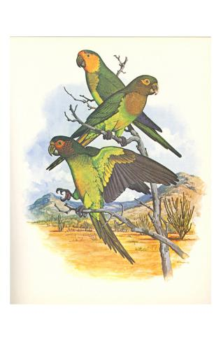 Brown Throated Conure no. 401 Kunstdruck
