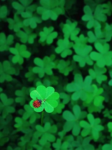 Ladybug On Four Leaf Clover Fotoprint Van Bruce Burkhardt Bij