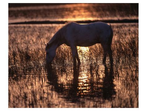 Camargue horse in the evening light Kunstdruck