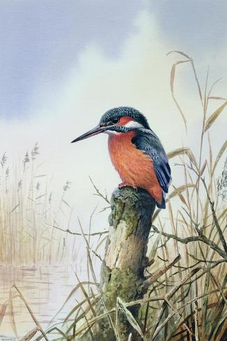 Kingfisher Giclée-Druck