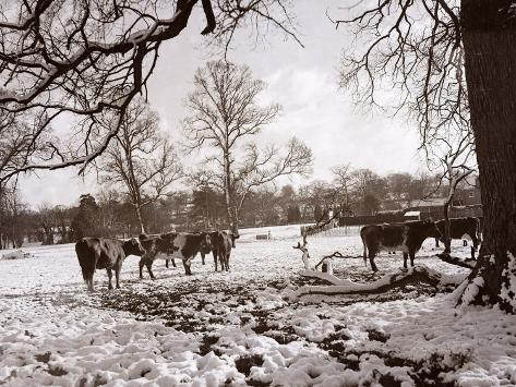 Cattle Pictured in the Snow at Shenley, Hertfordshire, January 1935 Fotografie-Druck