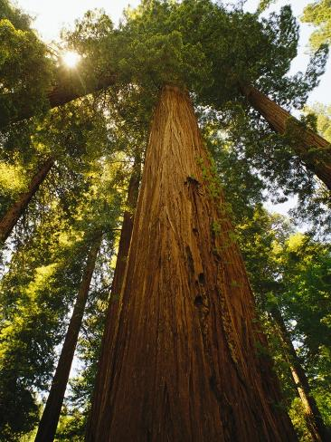 Redwood Tree Fotografie-Druck