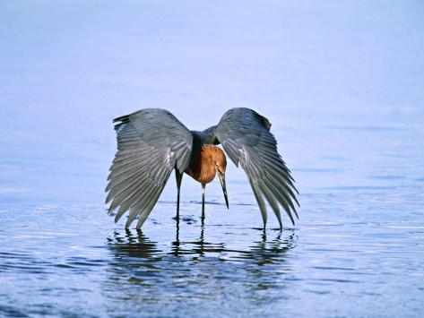 Reddish Egret Fishing, Ding Darling National Wildlife Refuge, Sanibel Island, Florida, USA Fotografie-Druck