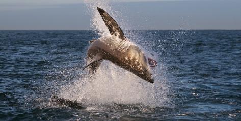 Great White Shark (Carcharodon Carcharias) Breaching Fotografie-Druck