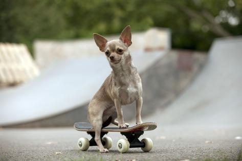 Chihuahua on Skateboard in Skate Park Fotografie-Druck