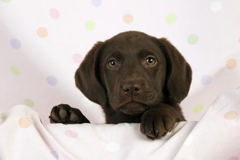 Chocolate Labrador Puppy (13 Weeks) Fotografie-Druck