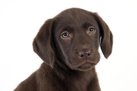 Chocolate Labrador Puppy (Head Shot) (13 Weeks) Fotografie-Druck