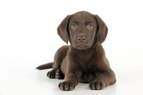 Chocolate Labrador Puppy Laying Down (13 Weeks) Fotografie-Druck