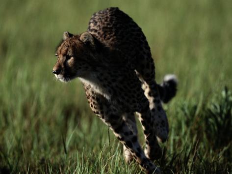An African Cheetah Running in the Grass Fotografie-Druck
