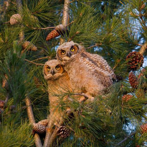Two Owlets Sit in a Pine Tree Fotografie-Druck