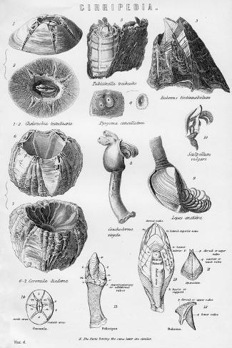 Cirripedia, 19th Century Giclée-Druck
