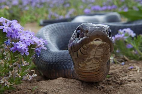 Texas Indigo Snake (Drymarchon Melanurus Erebennus) Close Up Amongst Vervain (Glandularia Sp Fotografie-Druck