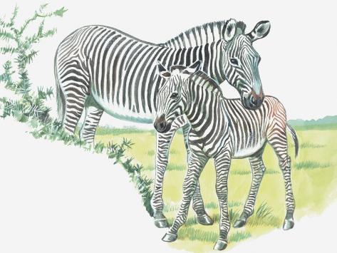 Close-Up of a Burchells Zebra with its Colt in a Field (Equus Burchelli) Fotografie-Druck