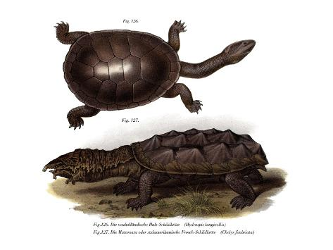 Common Snake-Necked Turtle Giclée-Druck