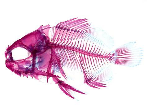 Coradion Fish Fotografie-Druck