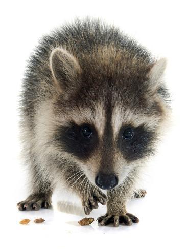 Young Raccoon Fotografie-Druck