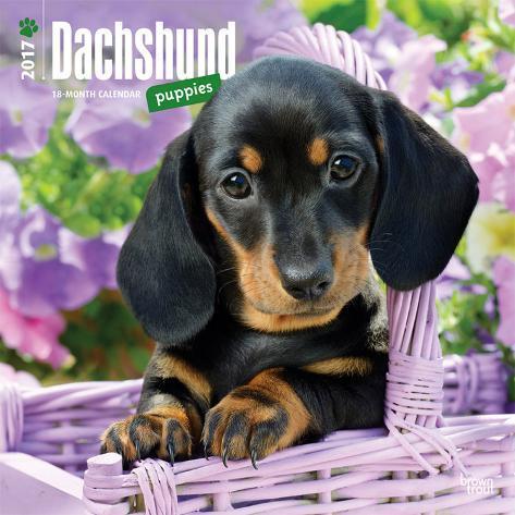Dachshund Puppies - 2017 Calendar Kalenders