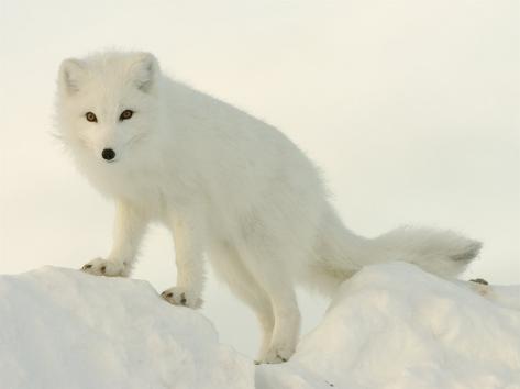 Arctic Fox, Along the Ice Edge of Hudson Bay, Near Churchill, Canada Fotografie-Druck
