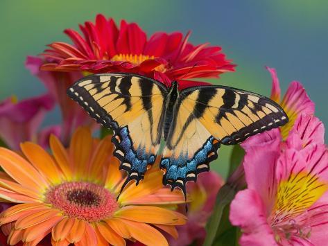 Eastern Tiger Swallowtail Female on Gerber Daisies, Sammamish, Washington, USA Premium-Fotodruck