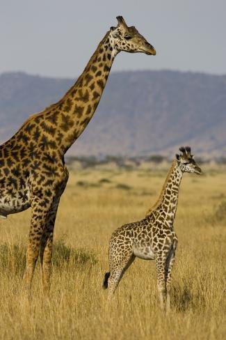 Giraffe Mother And Baby Giraffe On The Savanah Of The Masai Mara