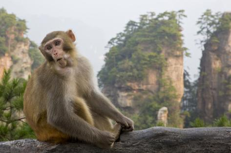 Rhesus Macaque, Hallelujah Mountains, Wulingyuan District, China Fotografie-Druck