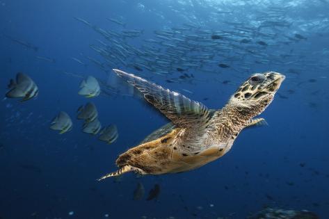 A Hawksbill Sea Turtle Swims Past Batfish and Barracuda Fotografie-Druck