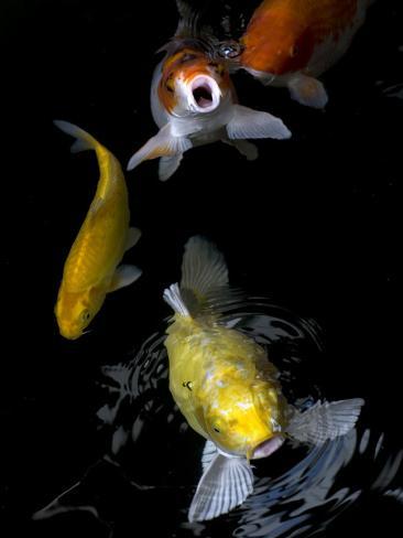 Yellow and Orange Koi Swimming to the Surface Fotografie-Druck