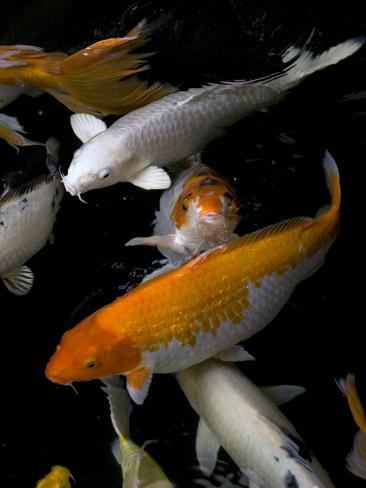 Yellow and Orange Koi Swimming Fotografie-Druck