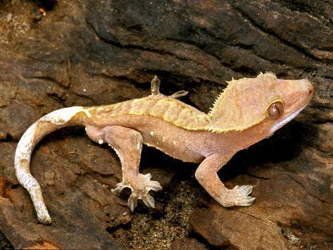 Crested Gecko Fotografie-Druck